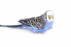 Wavy parrot Stock Image