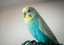 Wavy parrot blue color. The photo was taken at home Royalty Free Stock Image