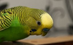 Wavy parrot close-up. Yellow-green mood. stock photo