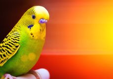 Wavy parrot green and yellow colors. Abstract blurred background. Solar glare. Space for text. A bright beautiful bird Stock Image