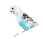Wavy parrot Stock Photography