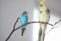 Wavy parrot and a parrot of the Corella breed. A wavy parrot and a parrot of the Corella breed are sitting on a branch Royalty Free Stock Photos