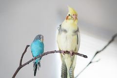 Wavy parrot and a parrot of the Corella breed. A wavy parrot and a parrot of the Corella breed are sitting on a branch Stock Photo