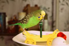 Wavy parrot plays with car Stock Photos