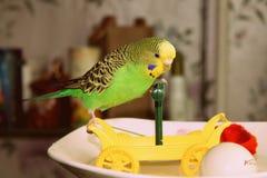 Wavy parrot plays with car stock photos