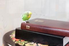 The wavy parrot sits on the Bible.  royalty free stock photo
