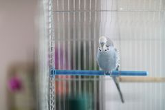 A wavy parrot sits on a plastic crossbar. In a bird cage royalty free stock images