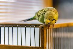 Wavy parrot on a wooden cage. Close up Royalty Free Stock Photos