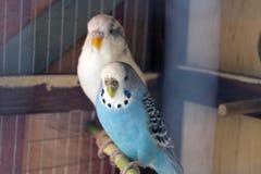 Wavy parrots Stock Photo