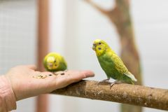 Wavy parrots eat from human hands royalty free stock image