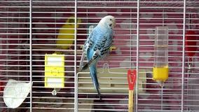 Wavy parrots stock video