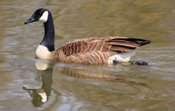 Wavy Reflection-Goose Stock Photo