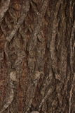 Wavy Tree Bark Texture. Coarse tree bark texture for photo compositions and 3D sculpting Stock Photography