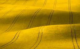Wavy yellow rapeseed field with stripes. Corduroy summer rural landscape in yellow tones. Stock Image