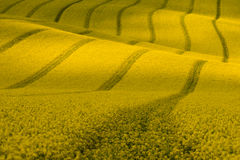 Wavy yellow rapeseed field with stripes and wavy abstract landscape pattern. Corduroy summer rural landscape in yellow tones. Yellow moravian undulating fields Stock Image