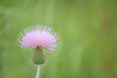 Wavyleaf Thistle (Cirsium undulatum) Stock Images