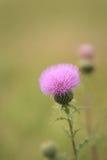 Wavyleaf Thistle Cirsium undulatum Stock Photography