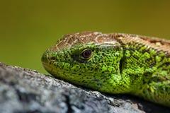 Żwawi zielonej jaszczurki Lacerta viridis, Lacerta agilis zbliżenie, wygrzewa się na drzewie pod słońcem Męska jaszczurka w kotel Zdjęcie Stock