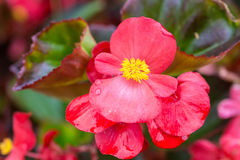 Wax Begonia stock images