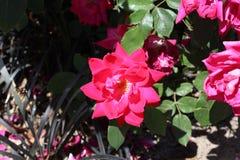 Wax begonia royalty free stock image