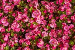 Wax Begonias Royalty Free Stock Photo