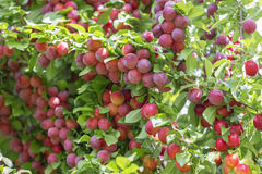 Wax cherries. Red wax cherries riped in tree Stock Images