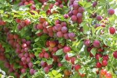 Wax cherries Stock Images