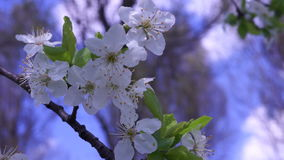 Wax Cherry Blossom, Spring Time. Blossoming fruit trees, cherry trees and flying bees around the flowers on the background of blue sky, white beautiful spring stock video footage