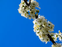 Wax cherry spring flowers copy space sky Royalty Free Stock Images