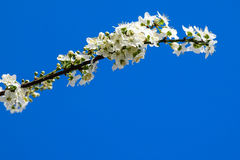 Wax cherry spring flowers tree branch Stock Image