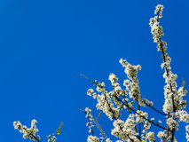 Wax cherry spring flowers tree branch copy space clear sky Stock Images