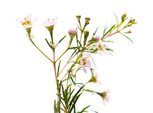 Wax flower isolated. Small pink wax flower blooms isolated on white stock image