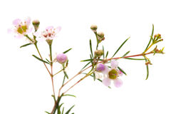 Wax flower isolated. Small pink wax flower blooms isolated on white stock photography