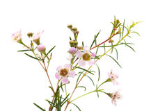Wax flower isolated. Small pink wax flower blooms isolated on white royalty free stock image