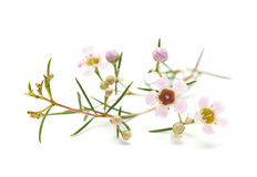 Wax flower isolated. Small pink wax flower blooms isolated on white stock photos