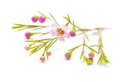 Wax flower isolated on white background. Small pink wax flower isolated on white background stock images
