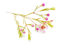 Wax flower isolated on white background. Small pink wax flower isolated on white background royalty free stock image