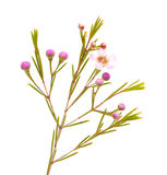 Wax flower isolated on white background. Small pink wax flower isolated on white background royalty free stock photos