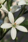 Wax Flower stock photos