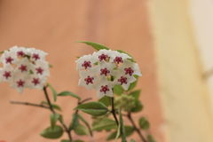 Wax flower vines Stock Photo