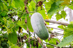 Wax gourd. Or Chalkumra in a vegetable garden Stock Photography