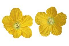 Wax Gourd Flower Royalty Free Stock Photos
