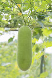 Wax gourd in a  garden Stock Images