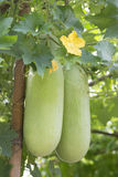 Wax gourd in a  garden Royalty Free Stock Image