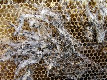 Wax moth larvae on an infected bee nest. The family of bees is sick with a wax moth. Stock Images