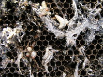 Wax moth larvae on an infected bee nest. The family of bees is sick with a wax moth. Royalty Free Stock Image