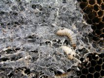Wax moth larvae on an infected bee nest. The family of bees is sick with a wax moth. Terrible wax bee frame eaten by parasites Stock Photo