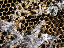 Wax moth larvae on an infected bee nest. The family of bees is sick with a wax moth. Royalty Free Stock Photography