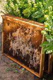 Wax moth. Pests of active hives. Beekeeping. There are two species with Latin names - Galleria mellonella and Achroia grisella. Infected bee nest stock photo