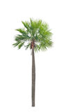 Wax palm(Copernicia Alba)Palm tree. Royalty Free Stock Image